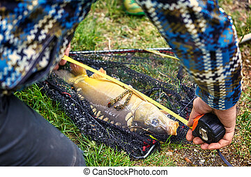 Crucian Carp - Raw fish Crucian Carp. Species : Carassius...