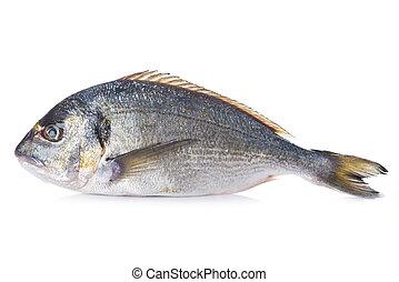 Gilt-head sea bream fish isolated - Raw Gilt-head sea bream...