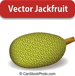 Raw Green jackfruit isolated on white, vector