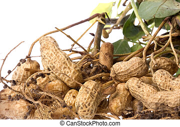 Raw Groundnuts Isolated - Isolated macro image of recently ...