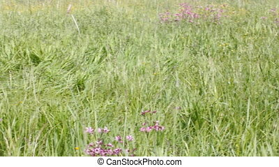 Raw herb meadows in valley of Volga river - good pasture