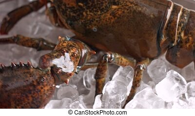 Raw lobster lies on ice. Big brown lobster. Seafood about to...