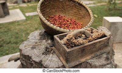 Raw Luwak coffee beans and part-digested coffee cherries