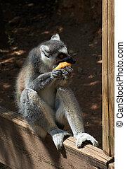 rayé, lemur