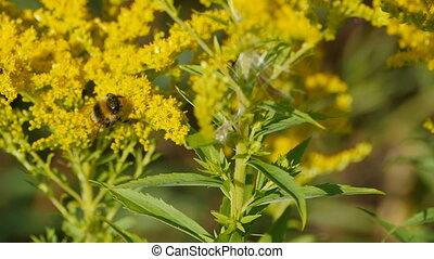rayé, poilu, grand, bourdon, fleurs jaunes
