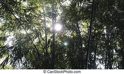 bamboo tree - ray of light on the bamboo tree