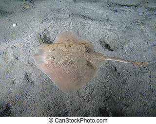 """""""Raya Clavata"""" on the sand also known as Thornback Ray (USA - England) or Raye oucl?e (France) or Raya de Clavos (Espagna). Shotted in the wild nighttime."""
