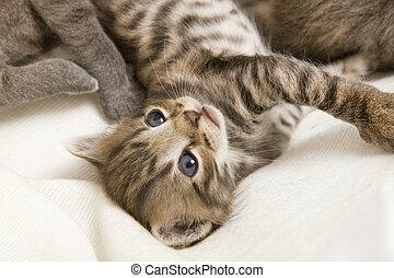 rayado, gato