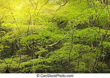 rayon soleil, forêt, érable