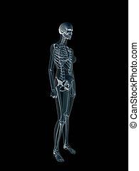 rayon x, body., xray, femme, humain