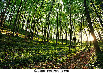 rayons, forêt verte, lumière soleil