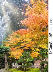 rayons, soleil, japonaise, arbres, matin, automne, érable