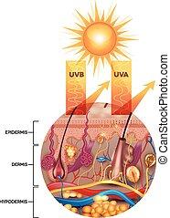 rayons, uva, sunscreen lotion, protégé, boîte, peau, pas,...