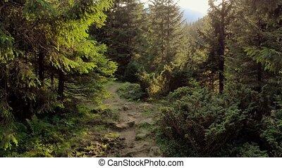 rays, ель, forest., солнечный лучик