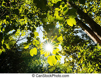 Rays of light beaming trough the tree branches and leafs in ...