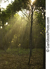 Rays of light in forest.