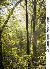 Rays of light on a magical misty forest II