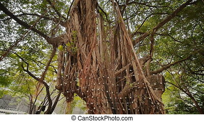 Rays of light shine through the Banyan tree in the jungles....