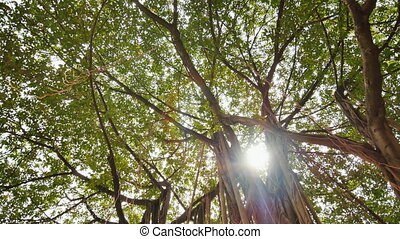 Rays of light shine through the Banyan tree in the jungles. Ayala Triangle Park in Manila. Video shooting in a circular motion. Electronic stabilization.