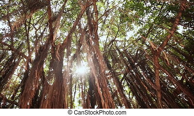 Rays of light shine through the Banyan tree in the jungles of Vietnam.