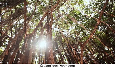 Rays of light shine through the Banyan tree in the jungles. Vietnam.