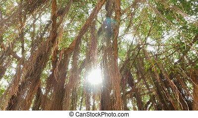 Rays of light shine through the Banyan tree in the jungles. Vietnam.