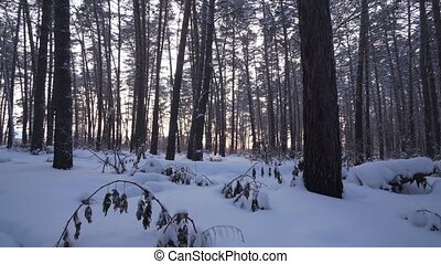 Rays of setting sun streaming through trunks of pine trees in winter forest