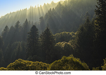 Rays of sunlight in the spruce forest on the mountainside.