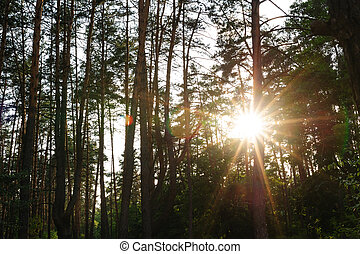 rays of the setting sun in a pine forest