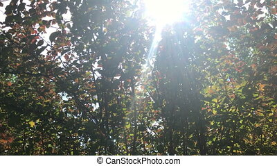 rays of the sun shine through the green leaves - the bright...