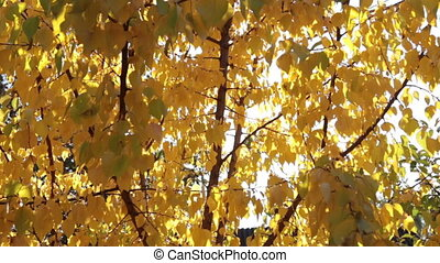 Rays of the sun through the yellow autumn leaves of apricot....