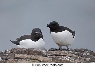 Razorbill, Alca torda, two birds on rock, Northumberland,...