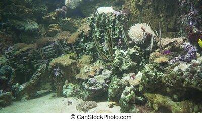 Razorfish in a marine aquarium stock footage video -...