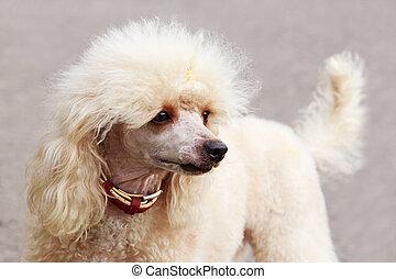razza, cane, barboncino