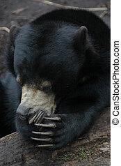 reír, oso