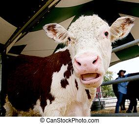reír, vaca