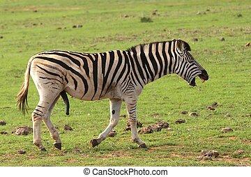 reír, zebra