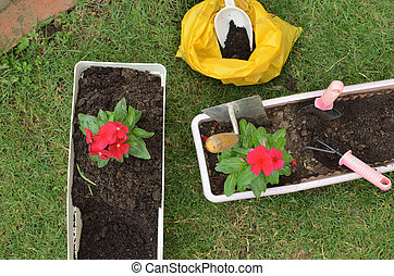 Re-potting flowers - top view - Re-potting red flower in a...