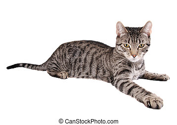 A tabby cat reaching out on white