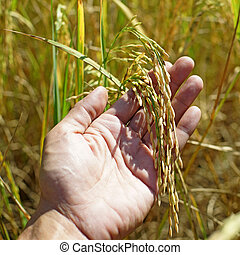 rice in man hand