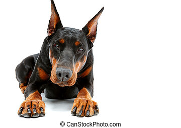 Portrait of lying doberman pinscher