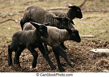 Ready, set, GO - 4 baby lambs joyfully racing around the...
