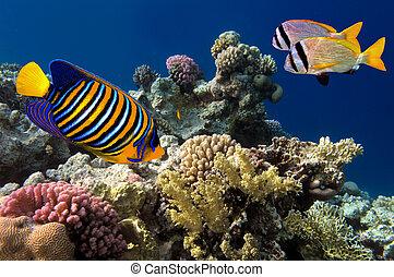 real, angelfish