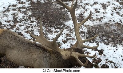 Real big deer maral on the background of a snowy park with...
