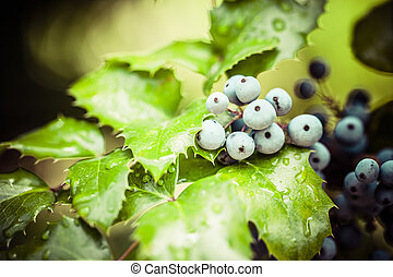 Real holly berries and leaves on red background. Macro with extremely shallow dof.