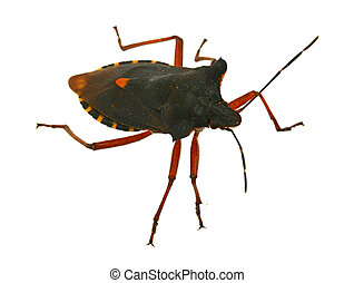 hemiptera bug - real macro of hemiptera bug against white...