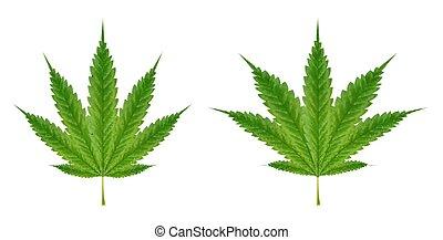 real marijuanas leaf on a white background