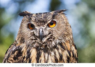 Real owl, (bubo bubo)