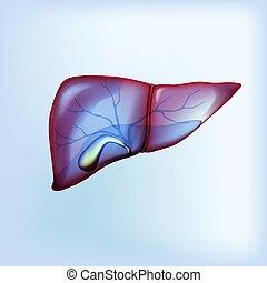 realista, aislado, luz, vesícula biliar, hígado, azul