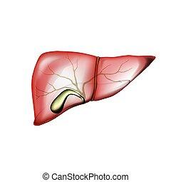 realista, hígado, aislado, blanco, vesícula biliar